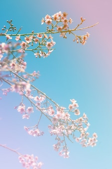 Colorful cherry blossoms on a high mountain