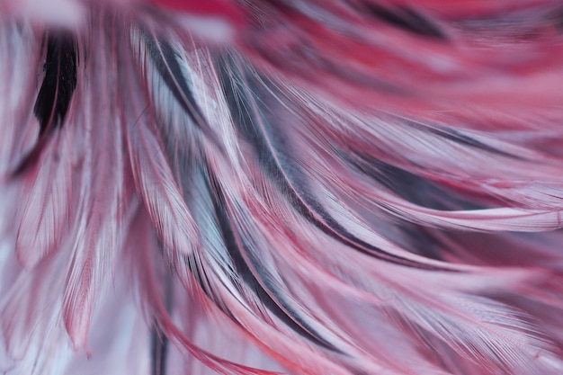 Colorful chicken feathers in soft and blur style for background
