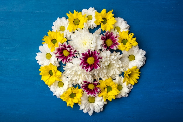 Colorful chrysanthemum on blue background with copy space