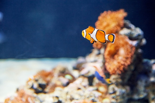 Colorful clown fish with stones