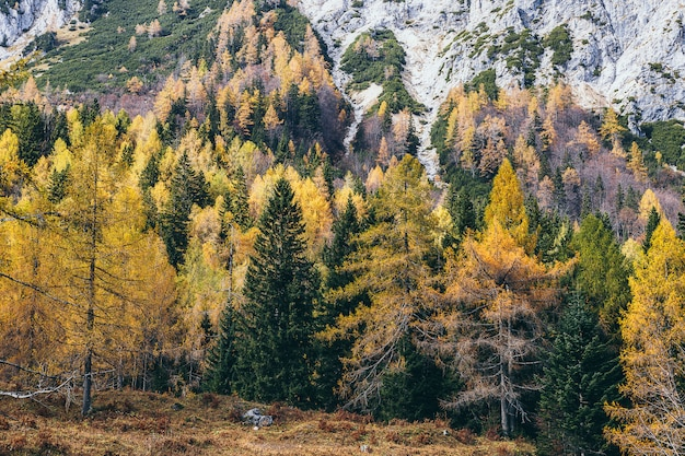 Colorful coniferous forest and rocky mountains, vrsic pass, slovenian alps