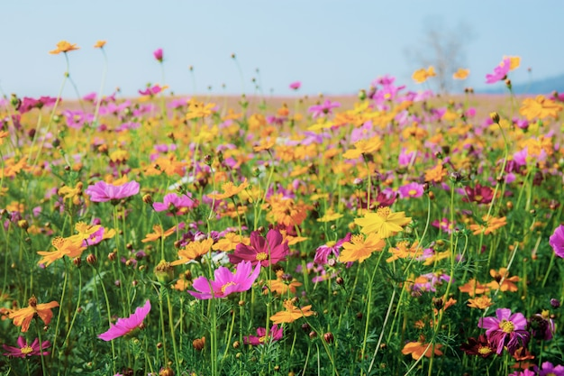 Colorful of cosmos in field with the sky.