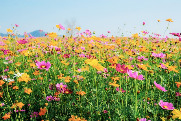Colorful of cosmos in field.
