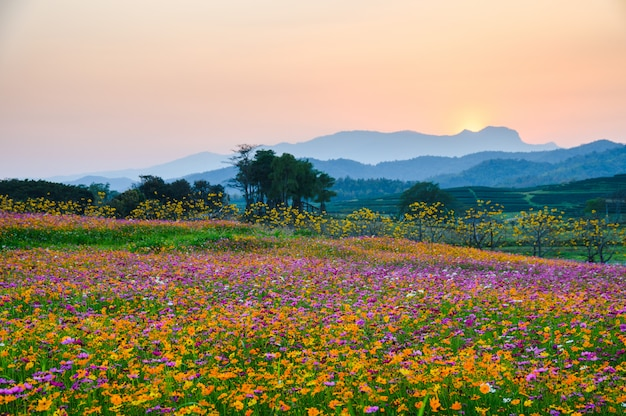 Colorful cosmos flower blooming on hill