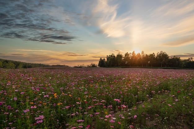 夕焼けに咲くカラフルなコスモスの花畑。
