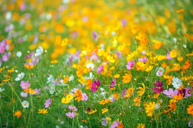 Colorful cosmos flower garden in bule sky background