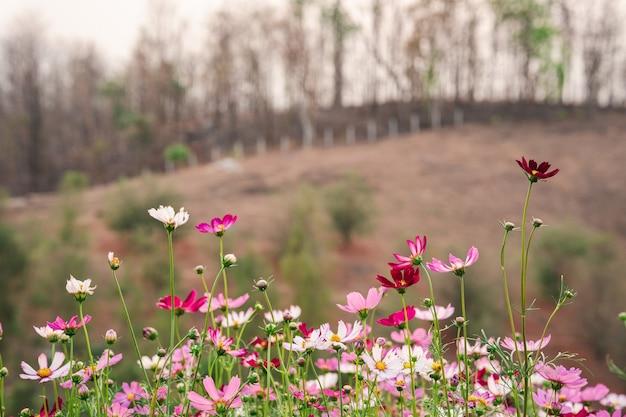 田舎の山を背景にした庭のカラフルなコスモス。
