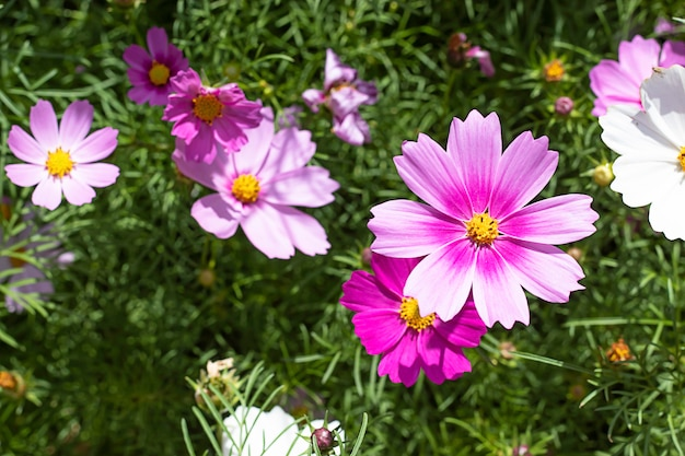 Colorful cosmos sulphureus cav flowers in garden.