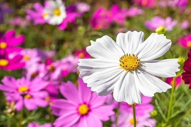 Colorful cosmos sulphureus cav flowers in garden.