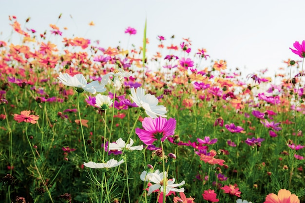 Colorful cosmos in winter.
