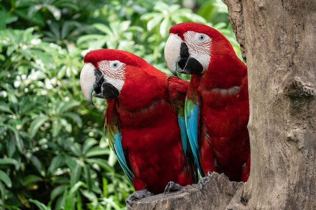Colorful couple red macaw parrot bird on nature tree