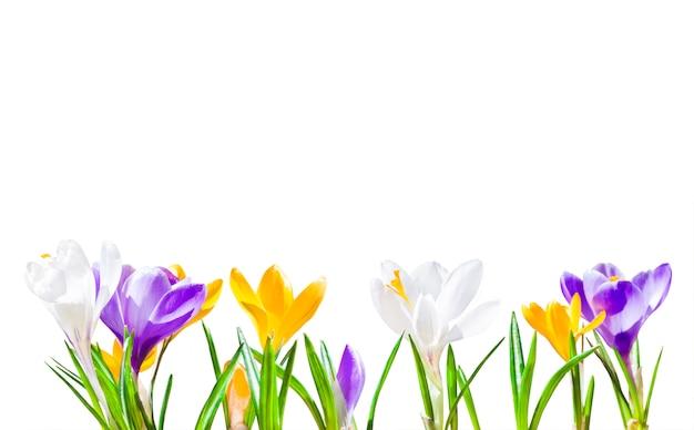 分離されたカラフルなクロッカスの花