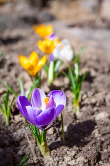 Colorful crocus flowers on the spring sunny day