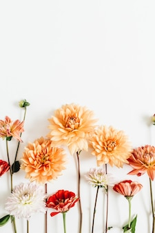 Colorful dahlia and cynicism flowers isolated on white surface