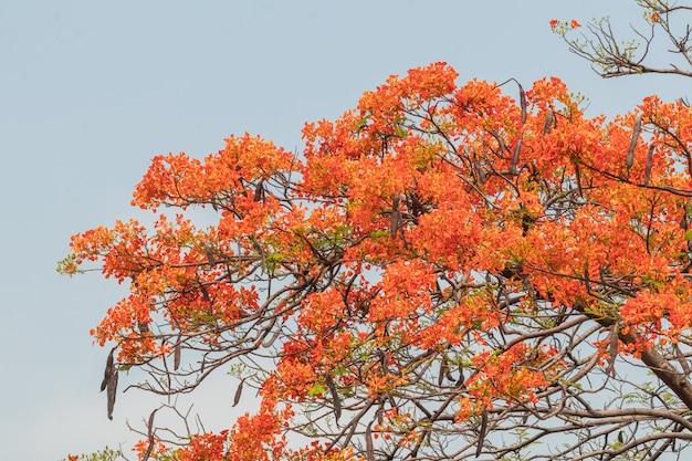 Красочный цветок delonix regia в небе. также называется royal poinciana, flamboyant, flame tree.