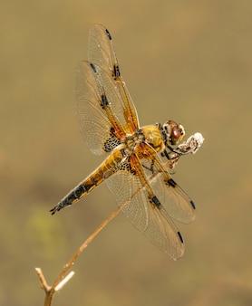 Красочная стрекоза с заостренными крыльями сидит на сухой растительности