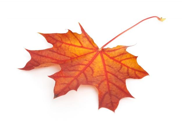 Colorful dry autumn maple leaf