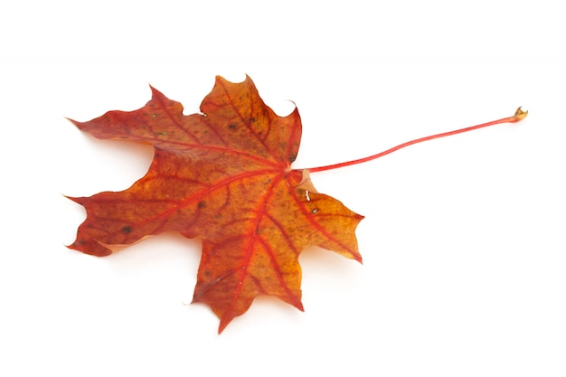 Colorful dry damaged autumn maple leaf