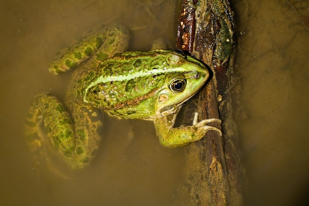 Красочная съестная лягушка лежа в болоте в солнечном свете.