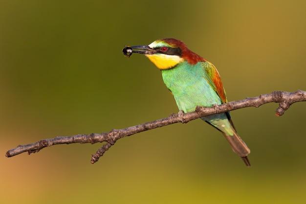 Красочный европейский пчел-едок сидя на ветви в лете с насекомым в клюве.