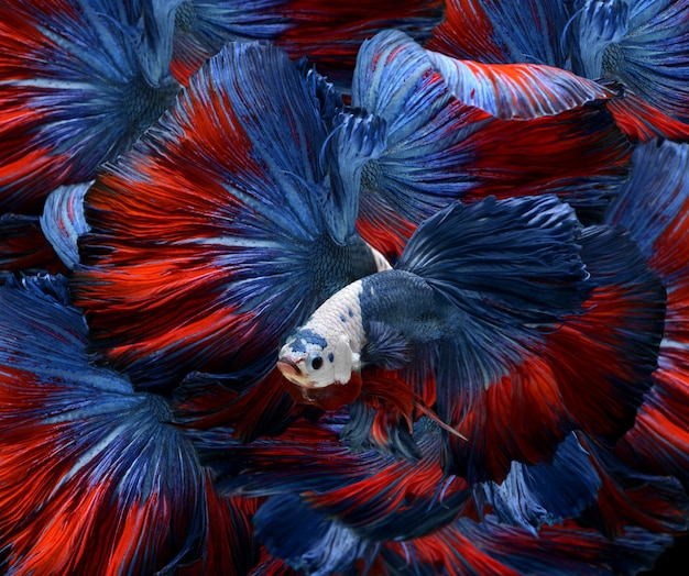 Colorful fancy bettas.