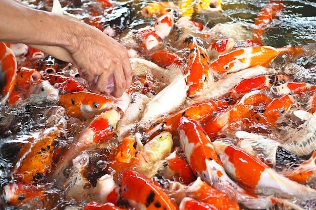 Красочная причудливая рыба-карп, конкурирующая за еду
