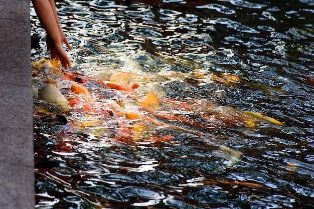 Colorful fancy carp fish or koi fish are swimming. koi fish swimming in the pond.