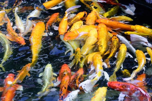 Colorful fancy carp fish or koi fish are swimming. koi fish swimming in the pond