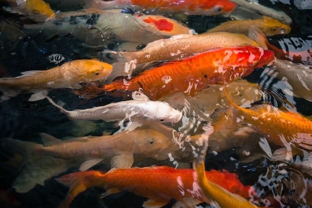 Красочные рыбные карпы