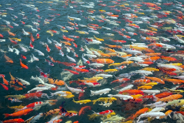 Colorful  fancy carp in a pond of water.