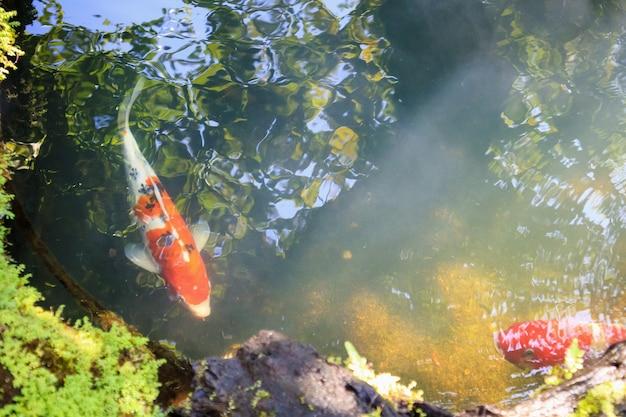Красочные фантазии карпы кои рыбы в садовом пруду