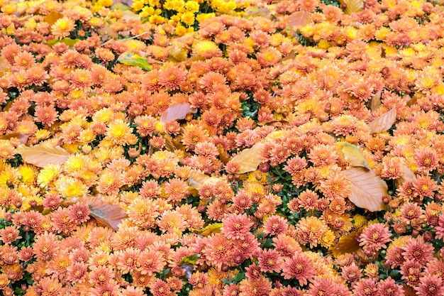 Colorful floral autumn background of orange chrysanthemums