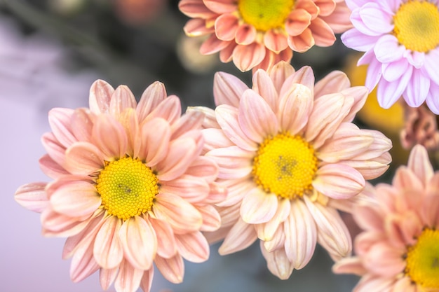 Colorful flowers chrysanthemum for background