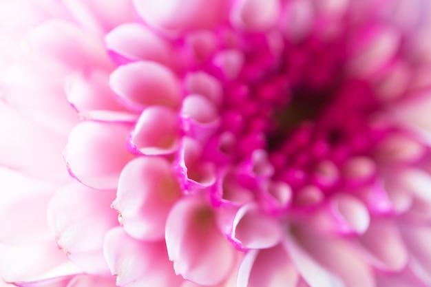 Разноцветные цветы хризантемы для фона