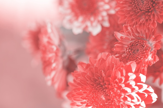Colorful flowers chrysanthemum made with gradient for background,abstract,texture,soft and blurred