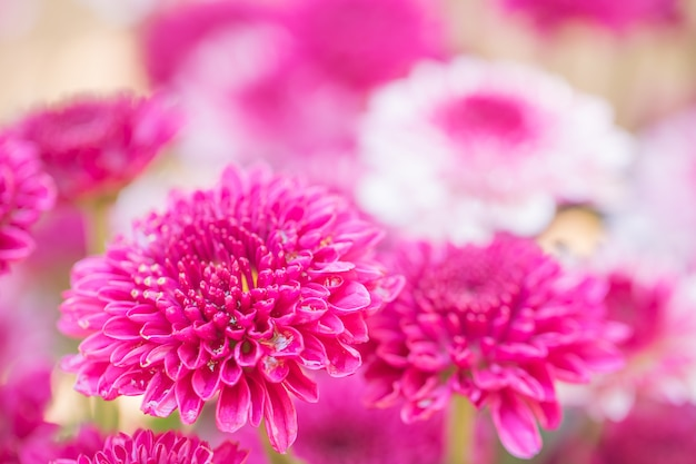 Colorful flowers chrysanthemum made with gradient for background