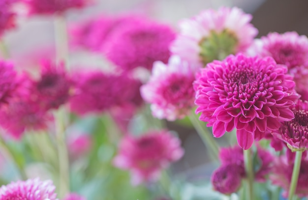 Разноцветные цветы хризантемы