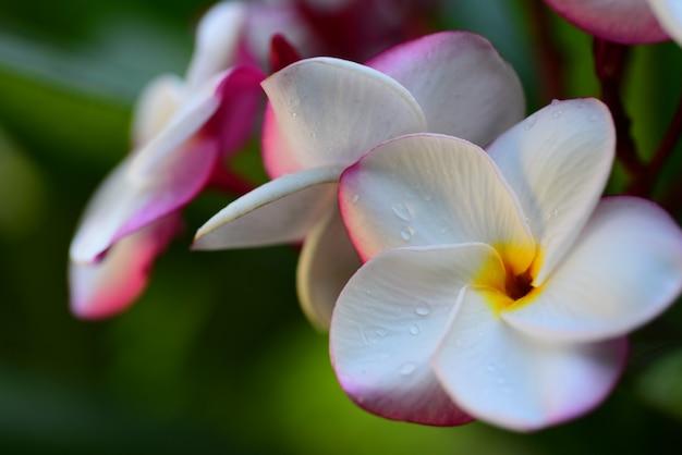 庭の色とりどりの花。プルメリアの花が咲きます。