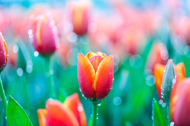 Colorful fresh tulips in the indoor flower garden with water drops