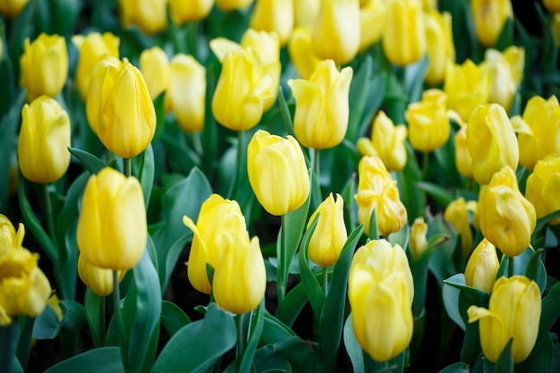Colorful fresh yellow tulips in the indoor flower garden with water drops