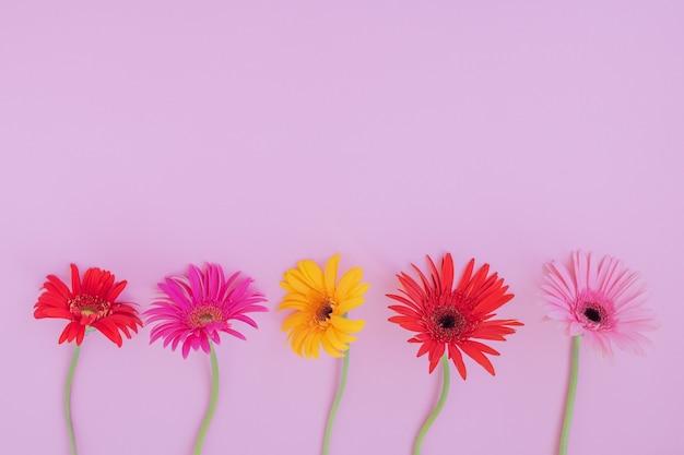 Красочные цветы герберы на розовом фоне