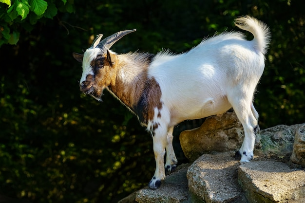 Colorful goat climbing some rocks against a green background of vegetation.