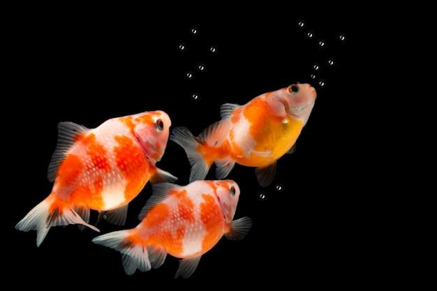 Красочная золотая рыбка, изолированные на черном фоне