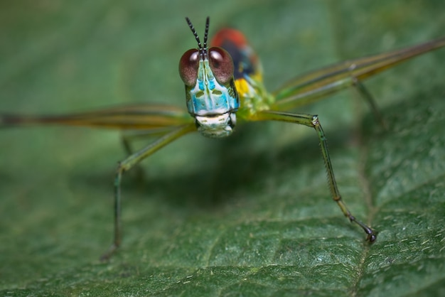 Colorful grasshopper perched on a leaf and looking into the lens