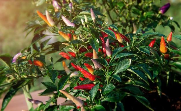 屋外の太陽の照明とカラフルなホットチリ植物。