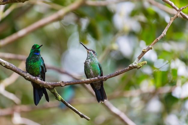 Красочные колибри в коста-рике, центральная америка