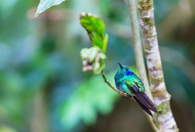 中央アメリカ、コスタリカのカラフルなハチドリ