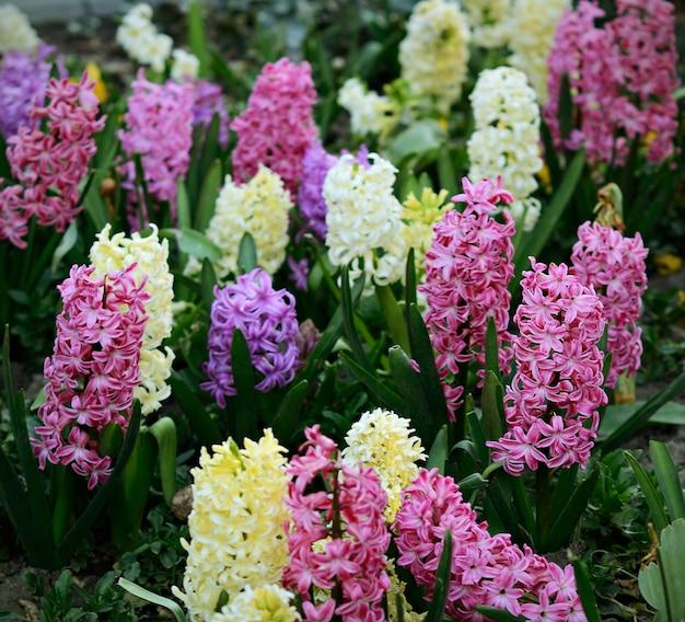 春に咲く色とりどりのヒヤシンス