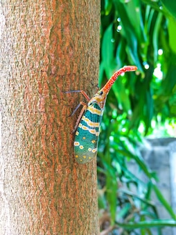 Colorful insect cicada or lanternflies (pyrops candelaria) insect on tree in nature.