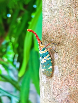 Colorful insect cicada or lanternflies